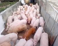 Heo con giống nuôi thịt 3 máu (20kg/con)